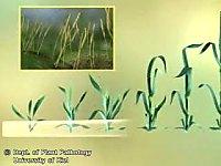 大麦网斑病的流行过程